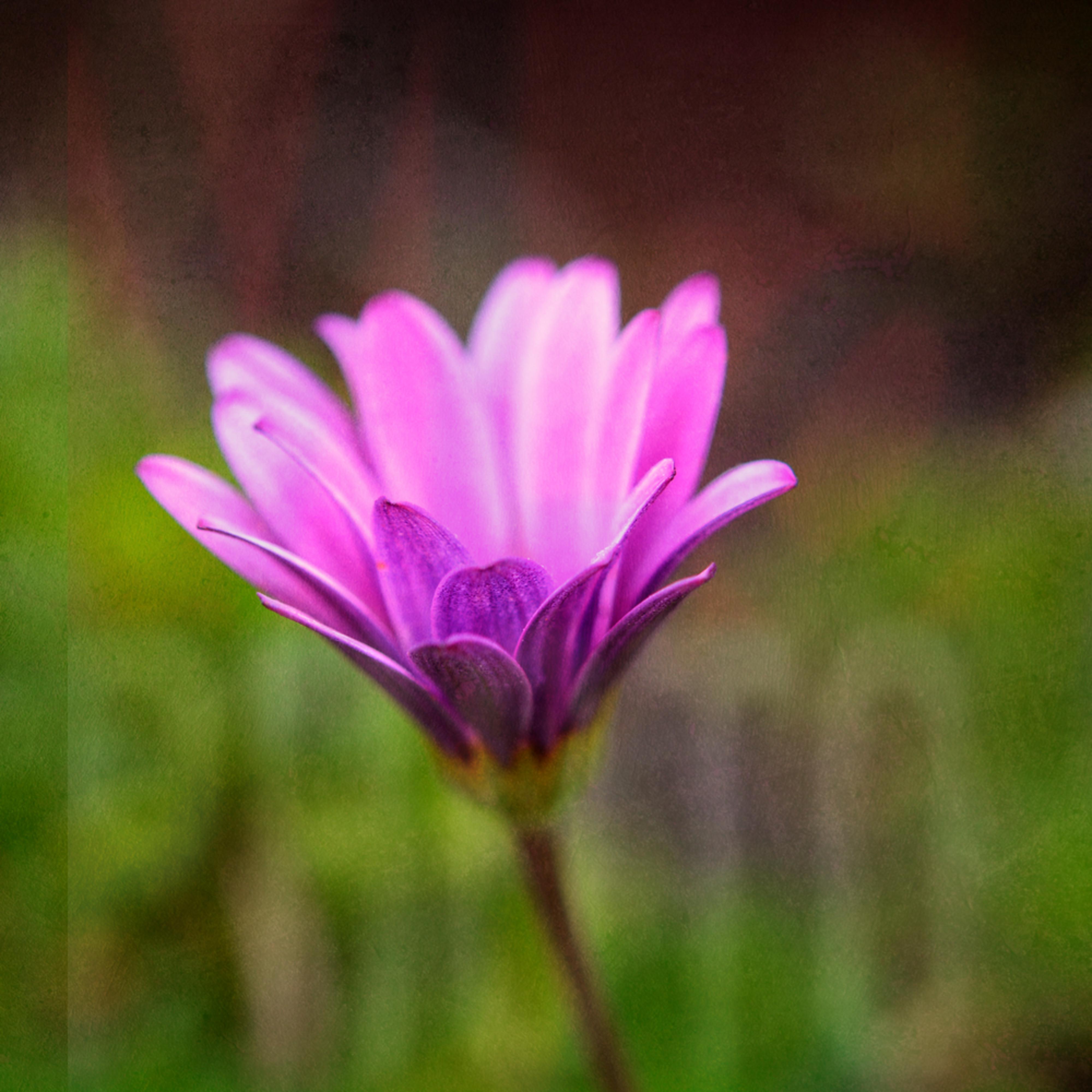 dsc0982 single purple flower kcjx4f