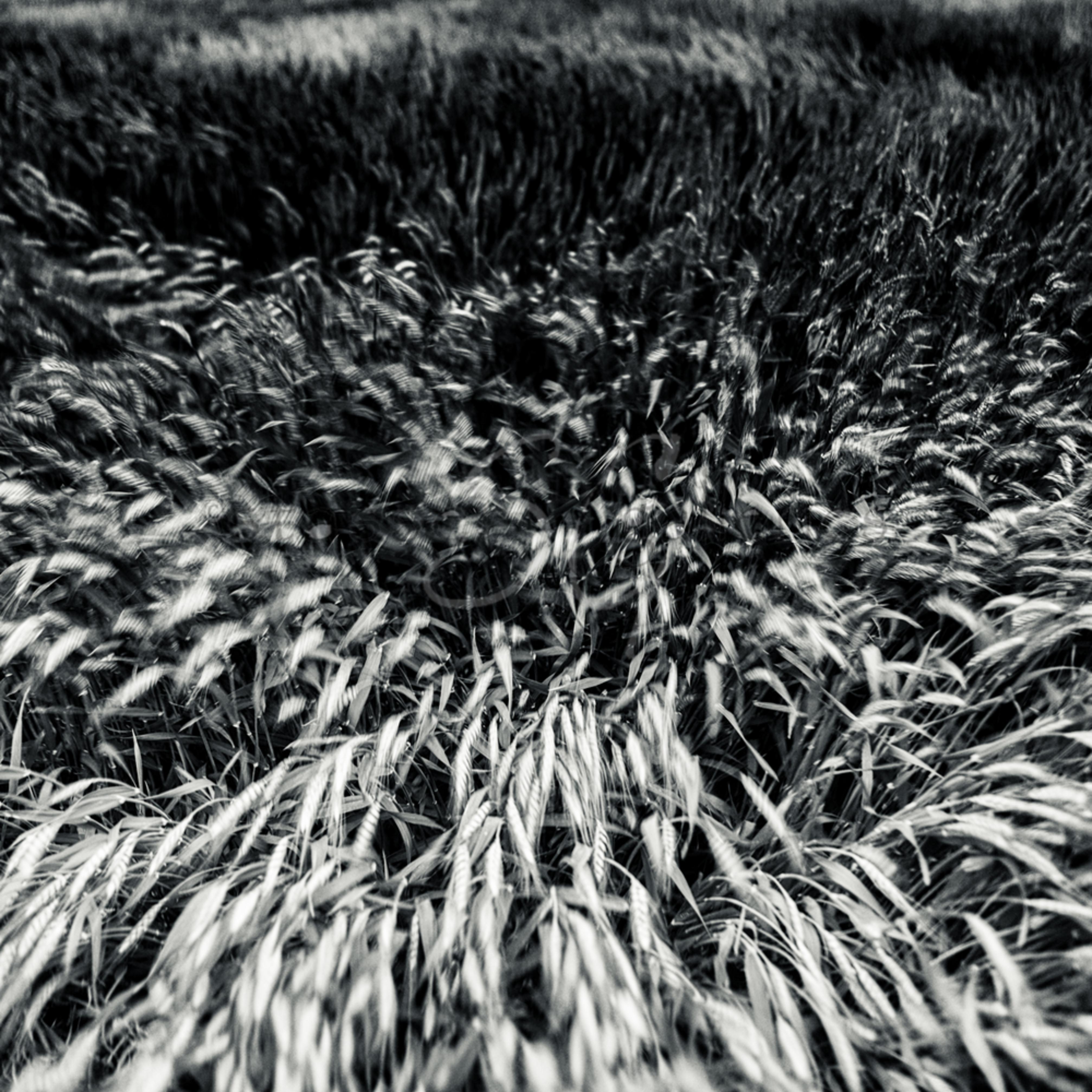 Abstract wheat three zzbxhf