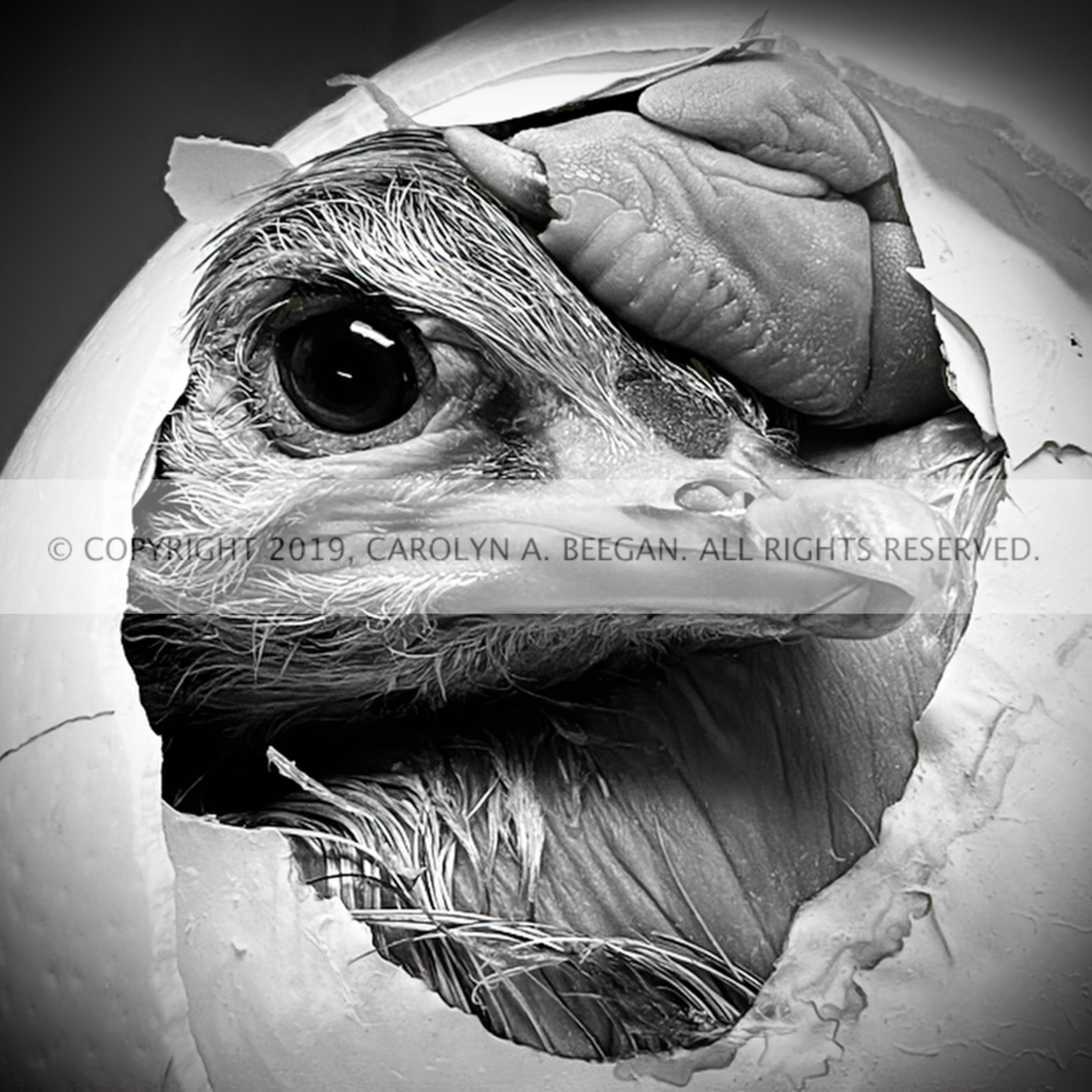 Ostrich hatchling 002 sharpen gigapixel width 14400px jefzum