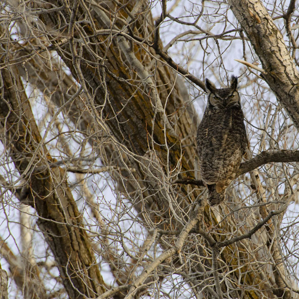 Great horn owl male4972 ftw  z4hfbg