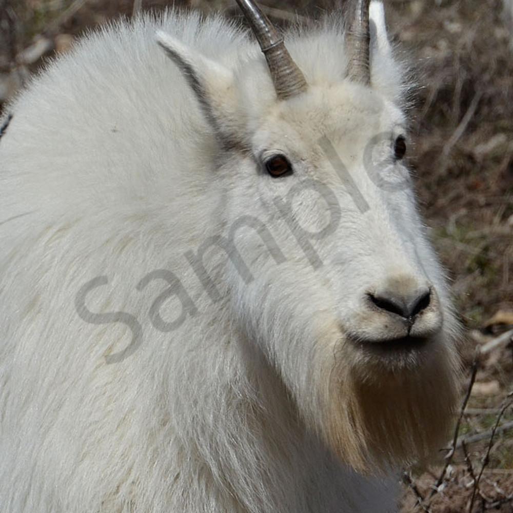 Old bill goat 5599 ftw m8ldfz