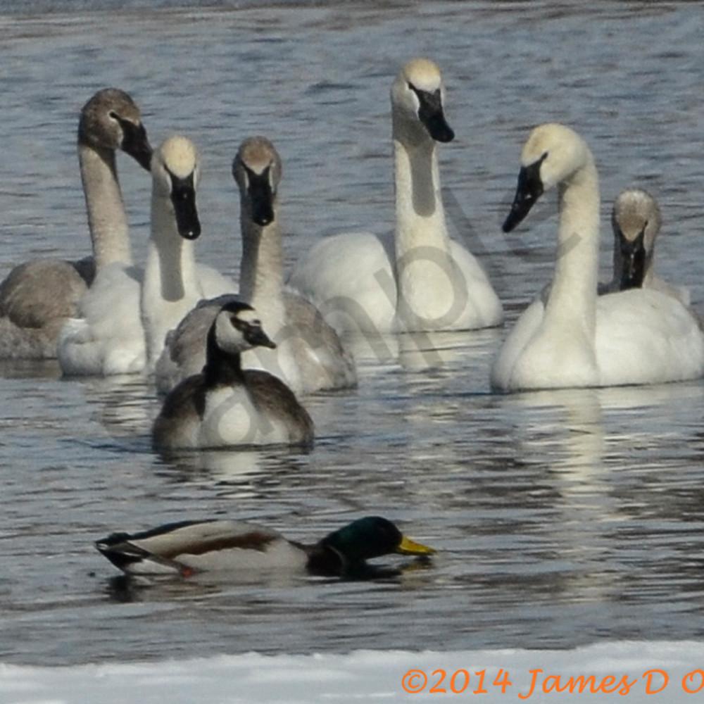 Trumpter swans geese ducks 5564 jpgfvj