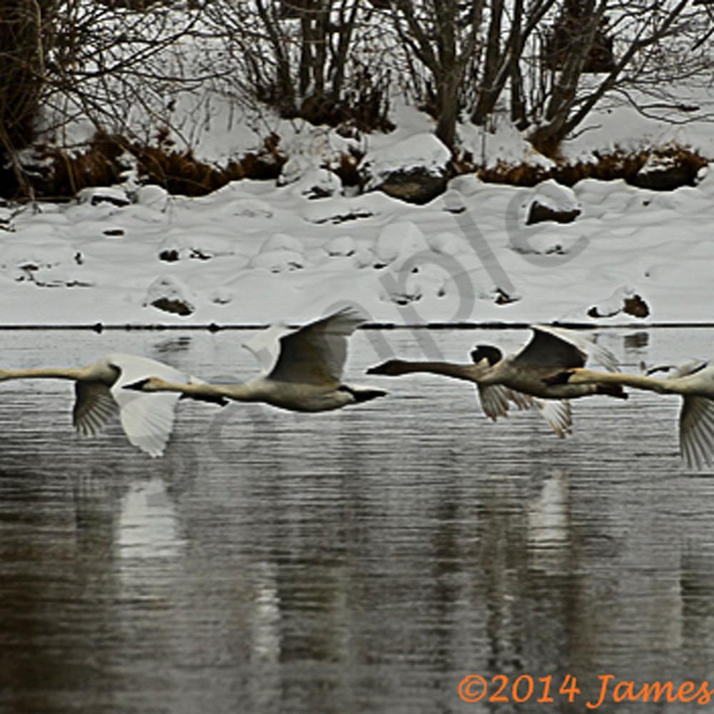 Trumpter swans 3820 2 ujate6