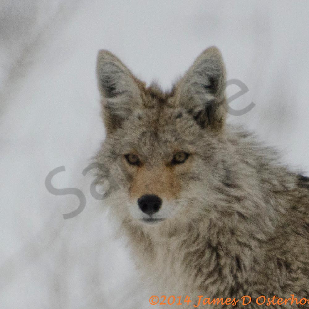 Coyote 5704 5704 cvtiol