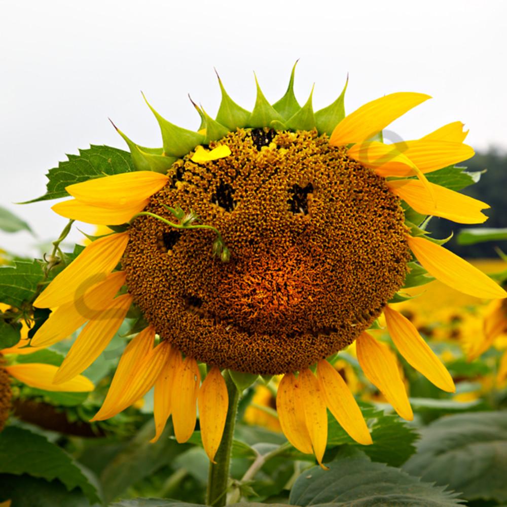 5365 6 7 sunflower face 4x6 oz3e3c