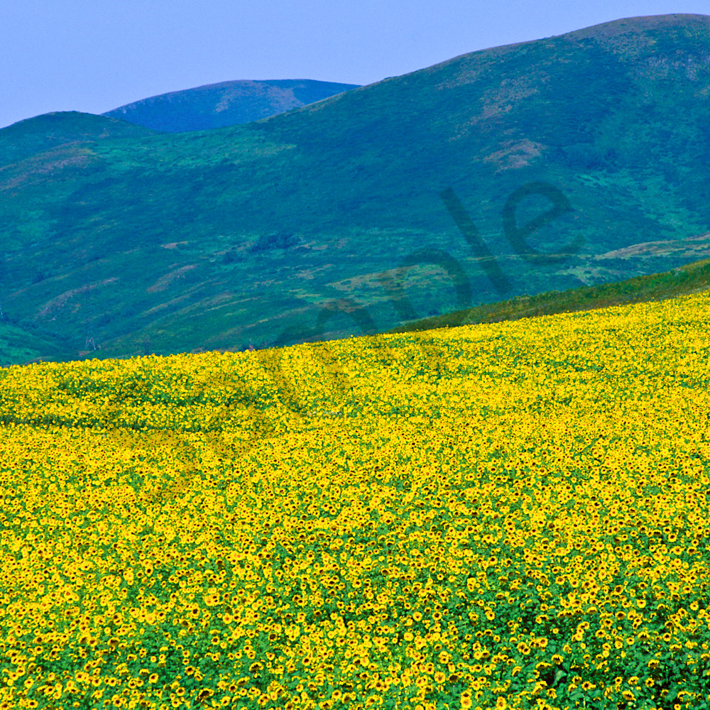 Sunflowers eastern kazakhstan 2 2 pzrosu