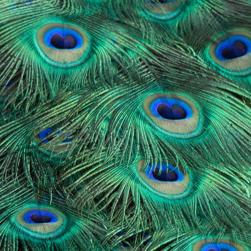 Peacockfeathers e817wb