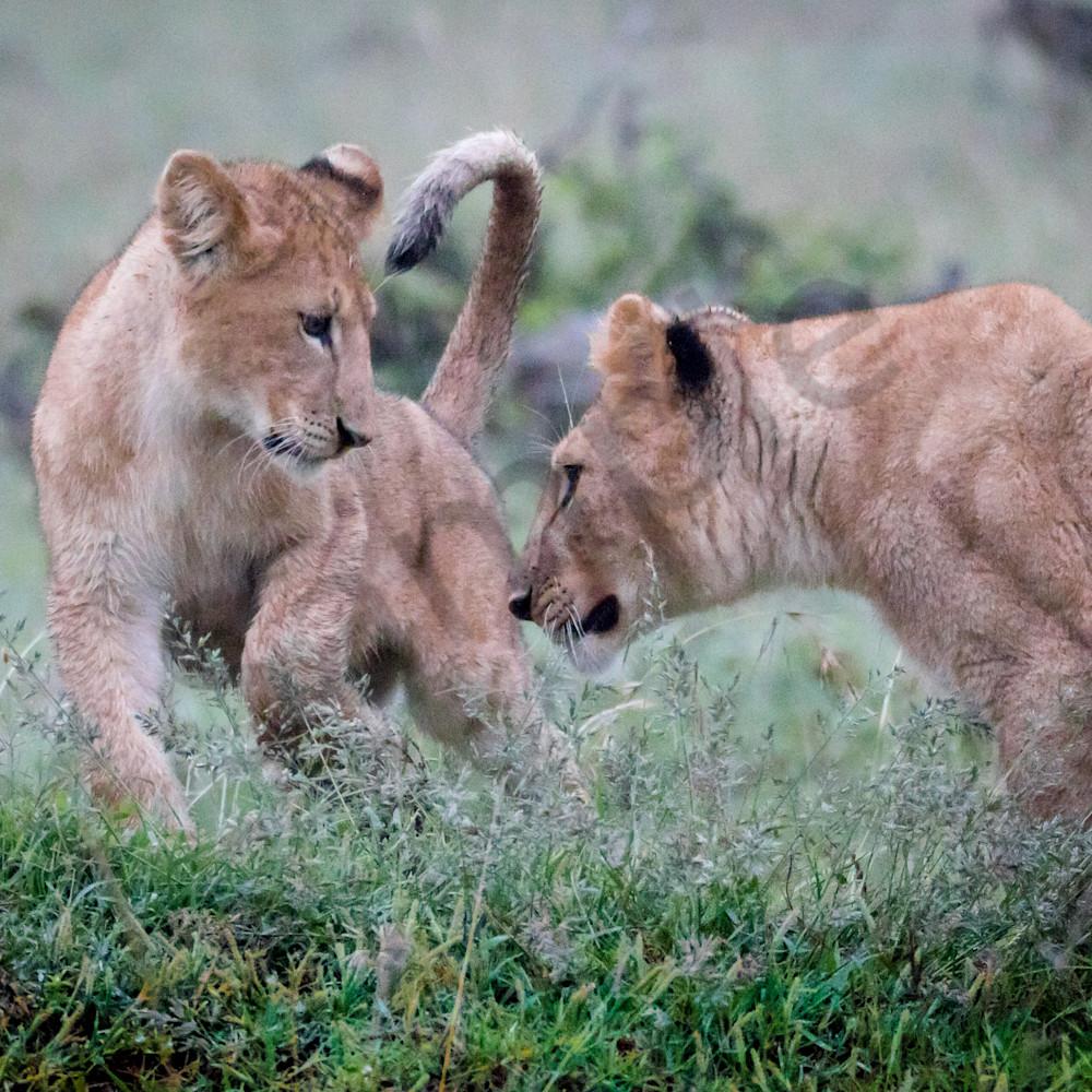 Lionsplaying lawmpv