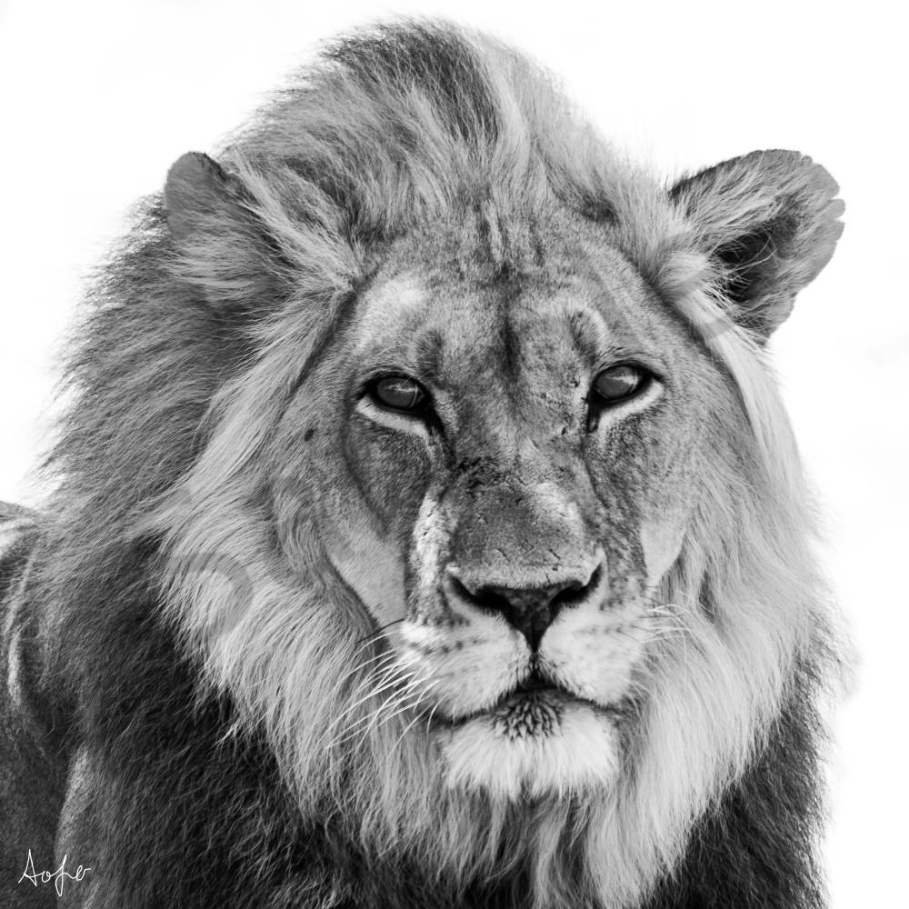 Bw african lion yjbf0t