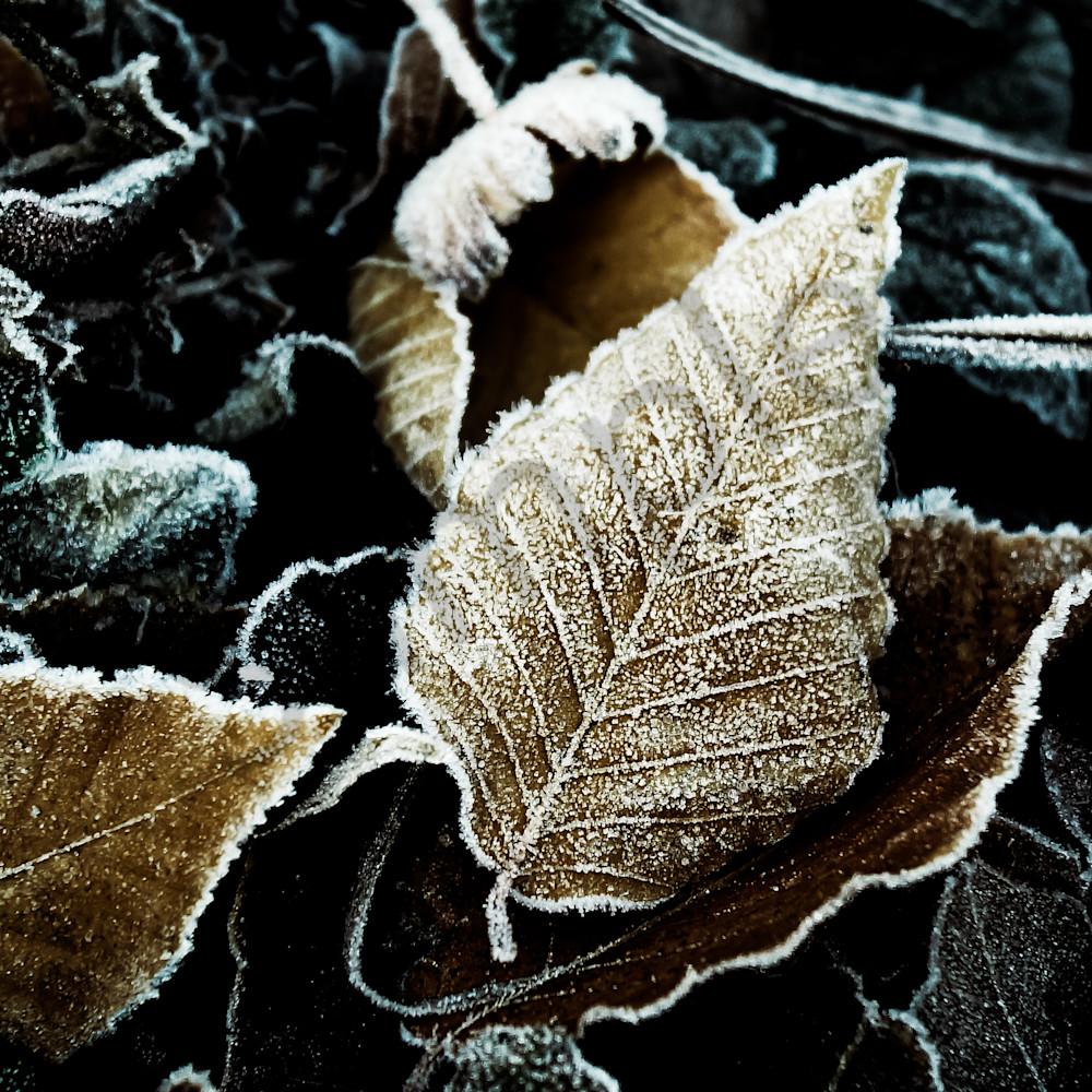 Frosted beech leaves ndmuyk