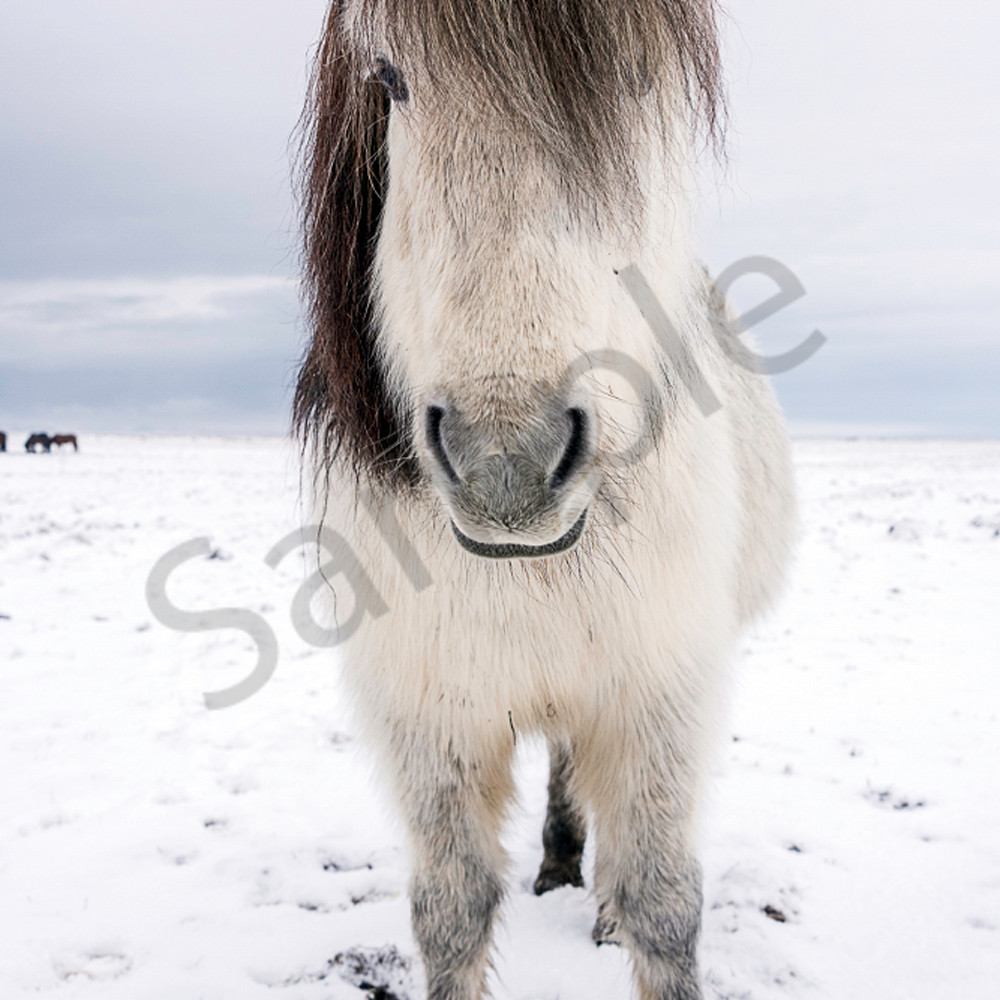 White horse gray mane facing camera no1p83