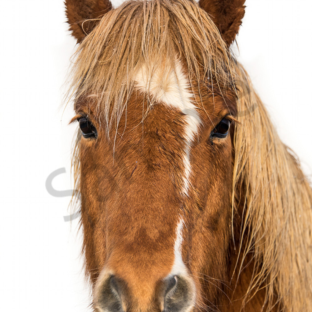Brown horse white stripe rvnrlf