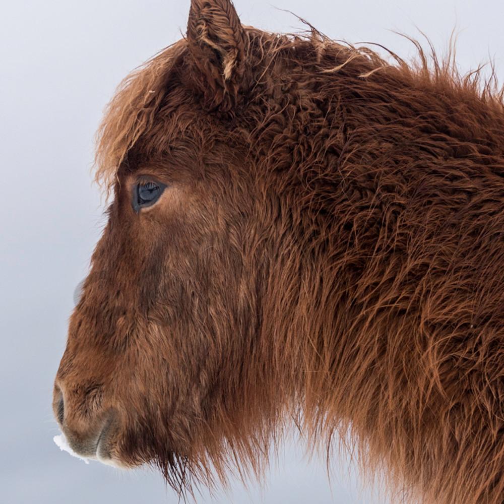 Shaggy brown pony profile hgrmmu