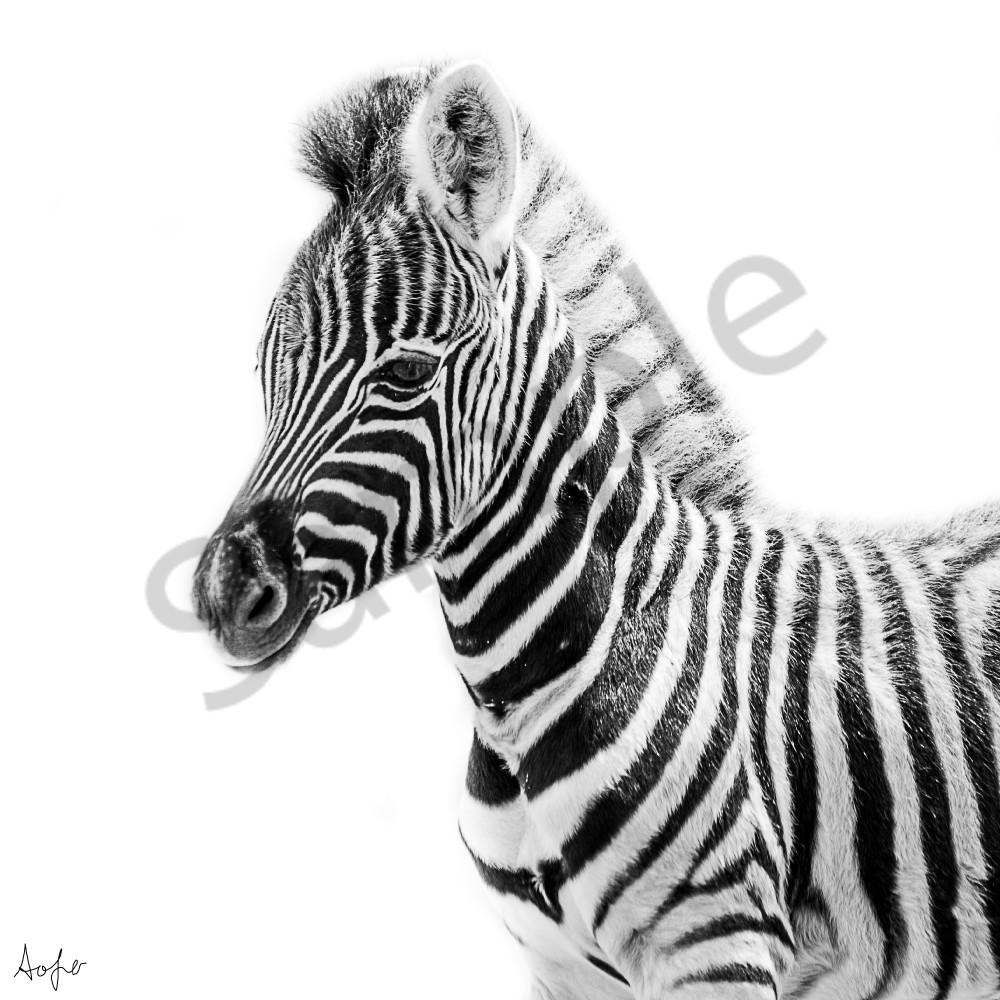 Zebra baby bw xtuwhr