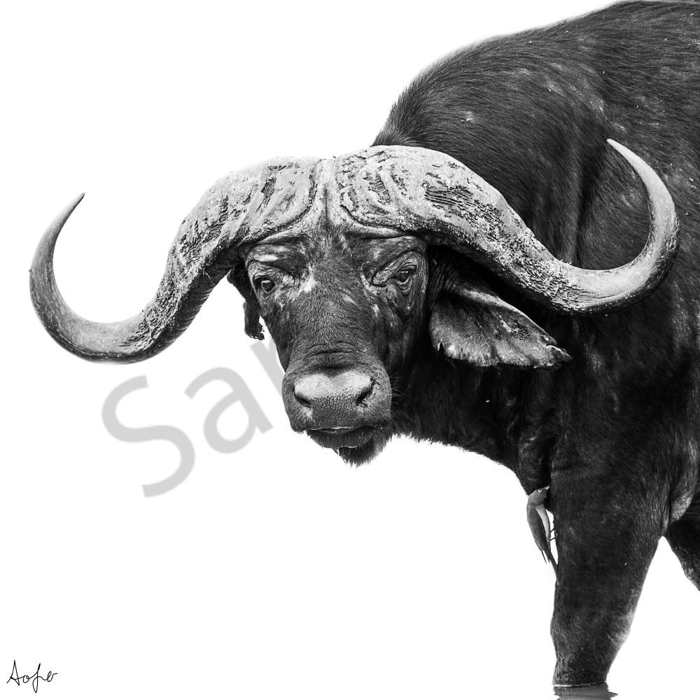 Cape buffalo iylplg