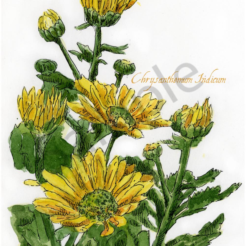 Nov   chrysanthemum mop27v