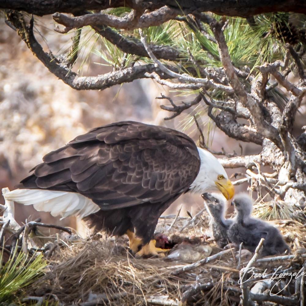 Eagles eaglets bndtjl