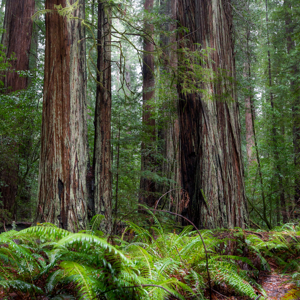 Redwoods tws3mj