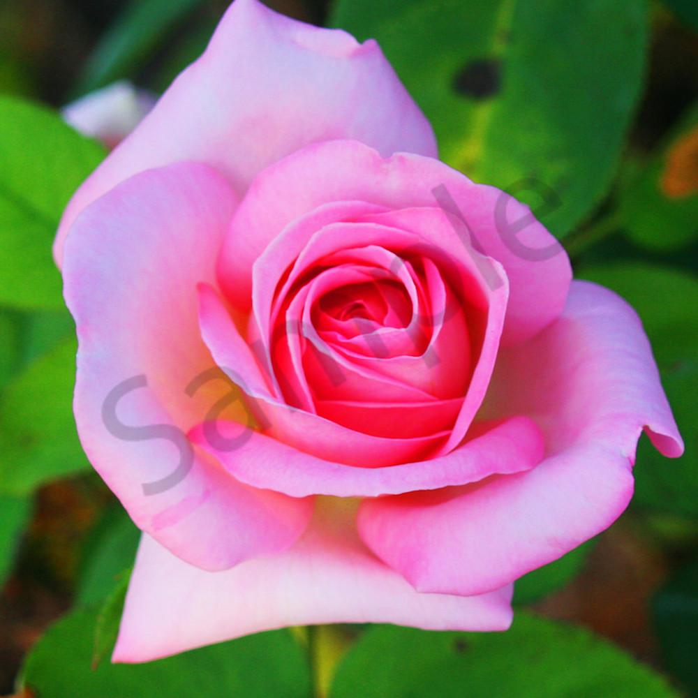 Hybrid tea rose website lro93k