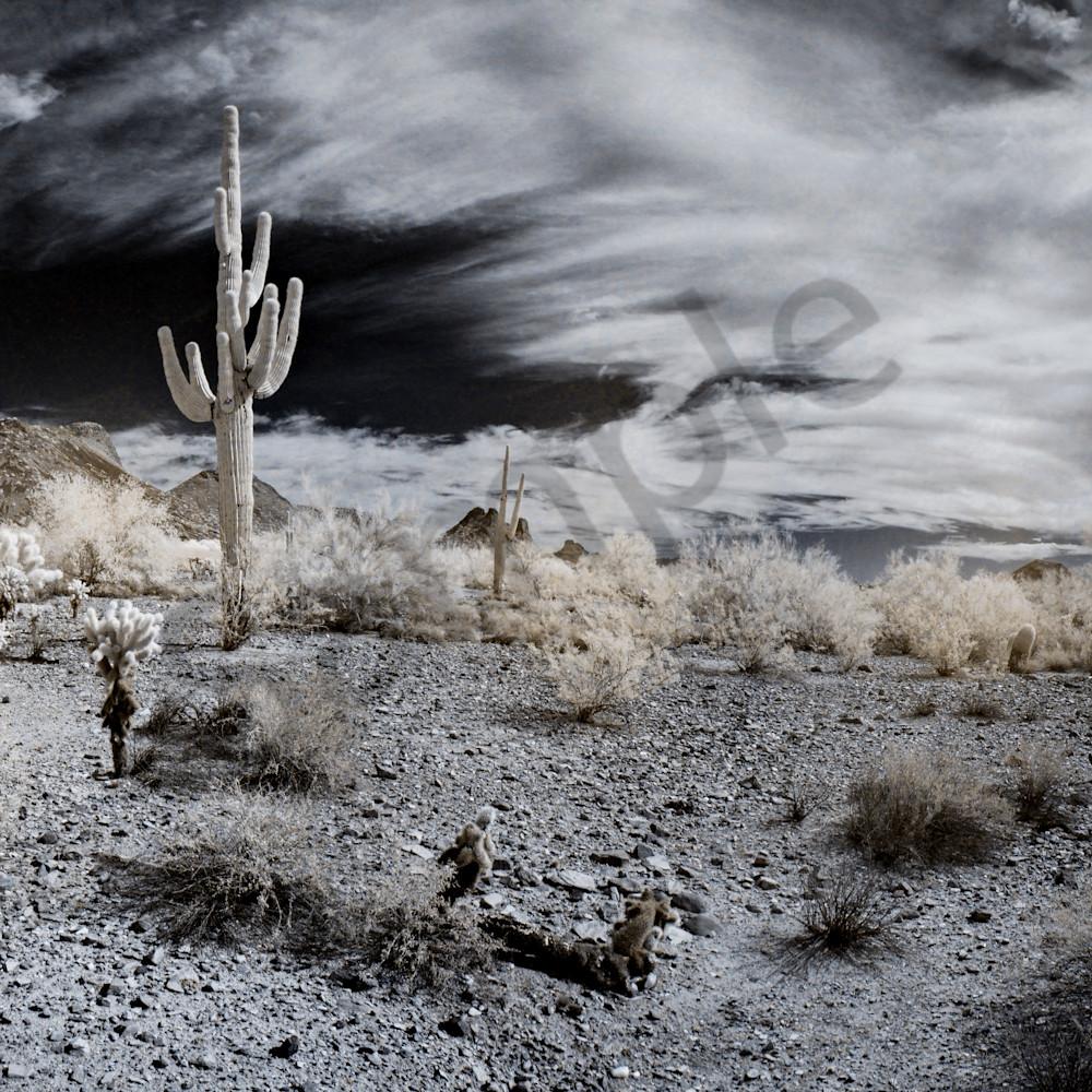 Lone saguaro ainmif