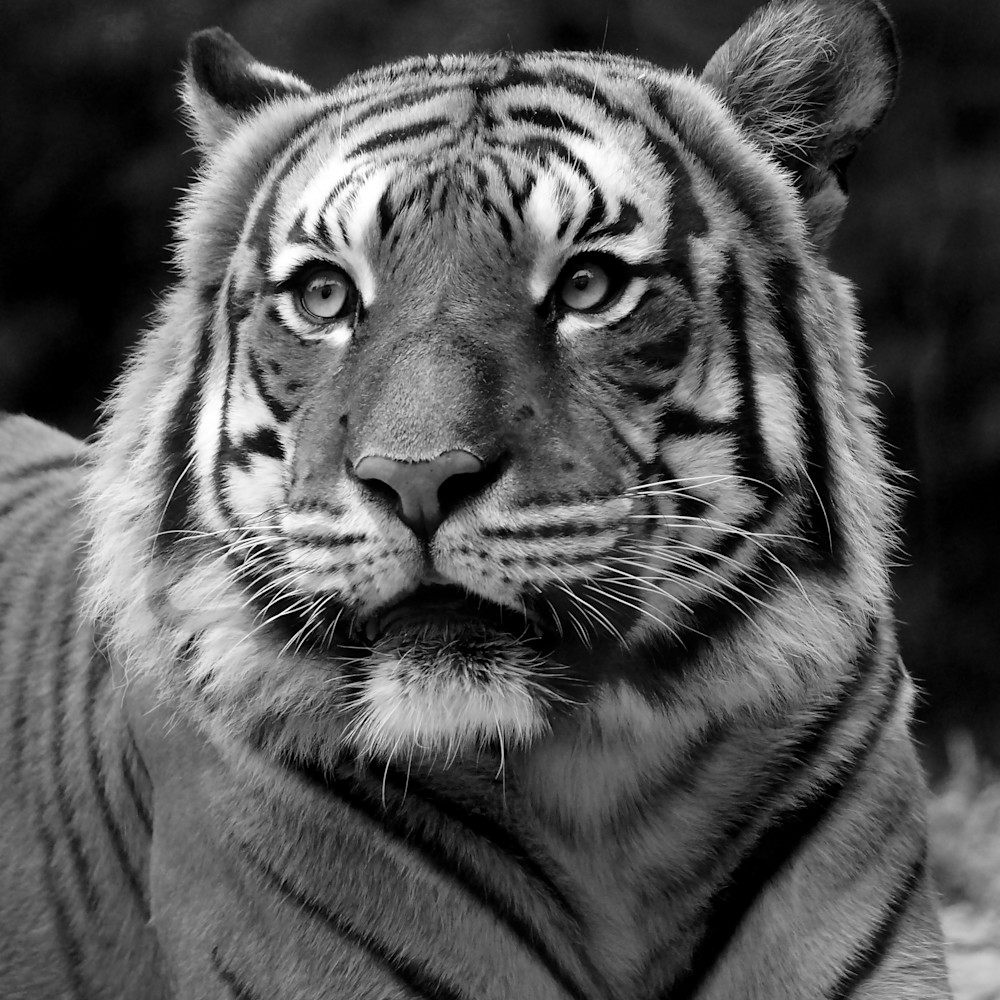 Tiger stare   black and white r51bmu