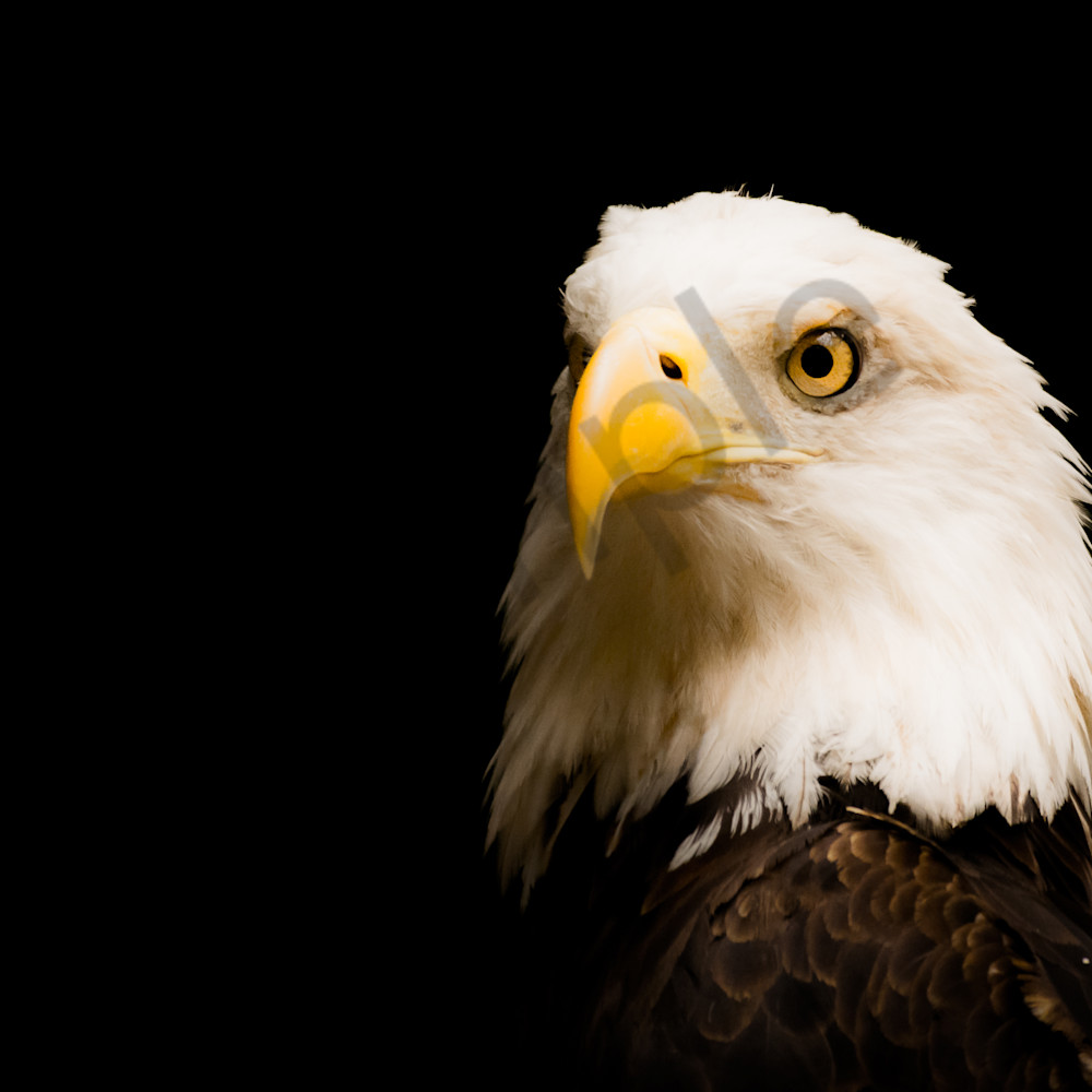 American bald eagle 2   dsc4134 lxfeco