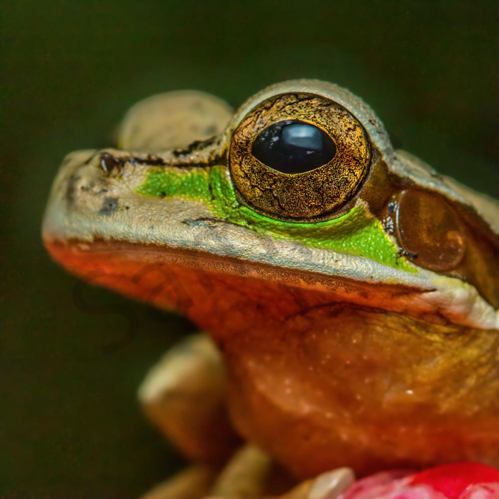 Masked tree frog gxjdsr