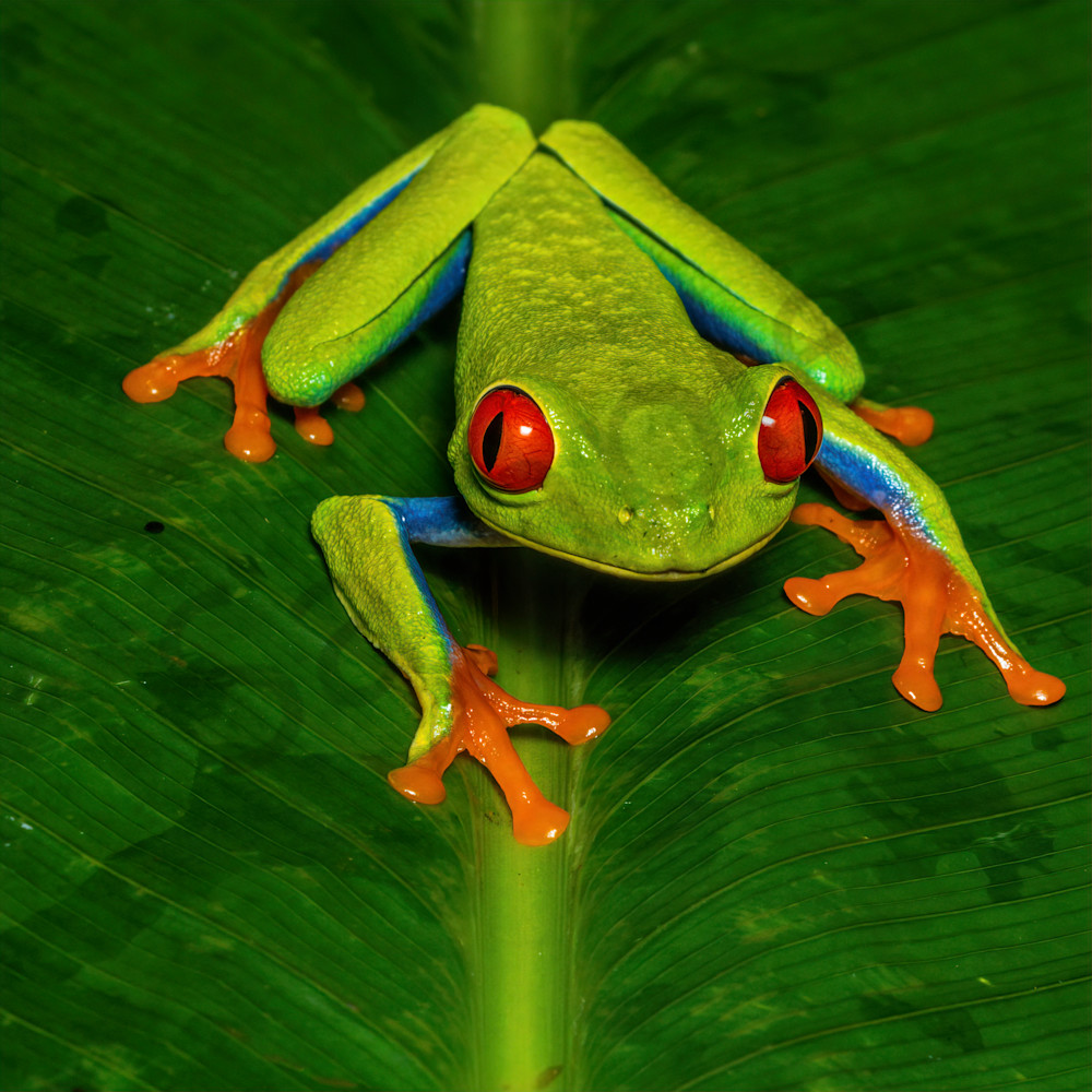 Red eyed tree frog 2 nsgvml