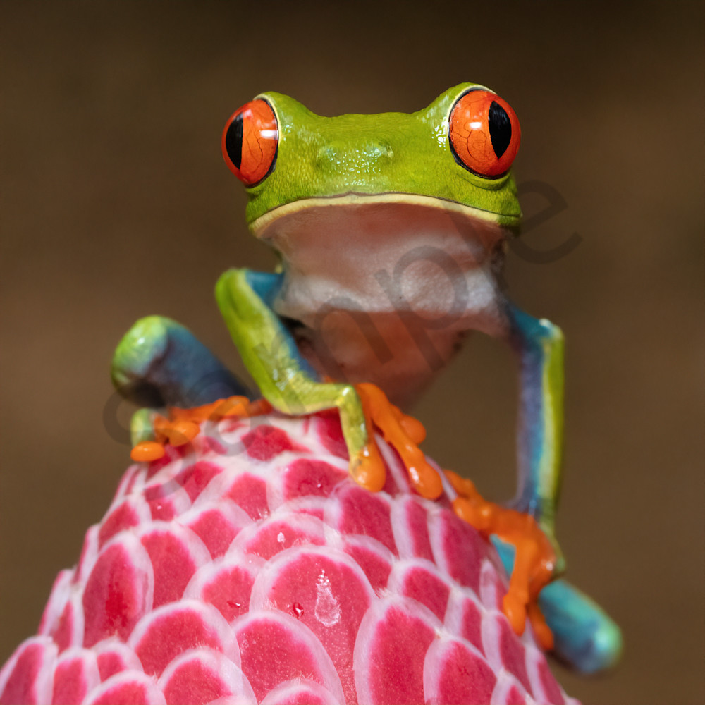 Red eyed tree frog 4 kdhg9a