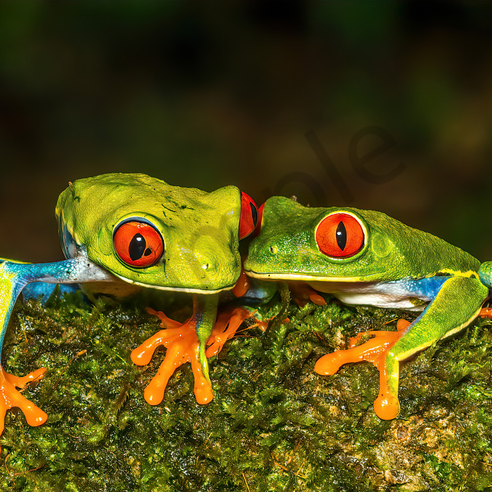 Red eyed tree frog 16 betbge