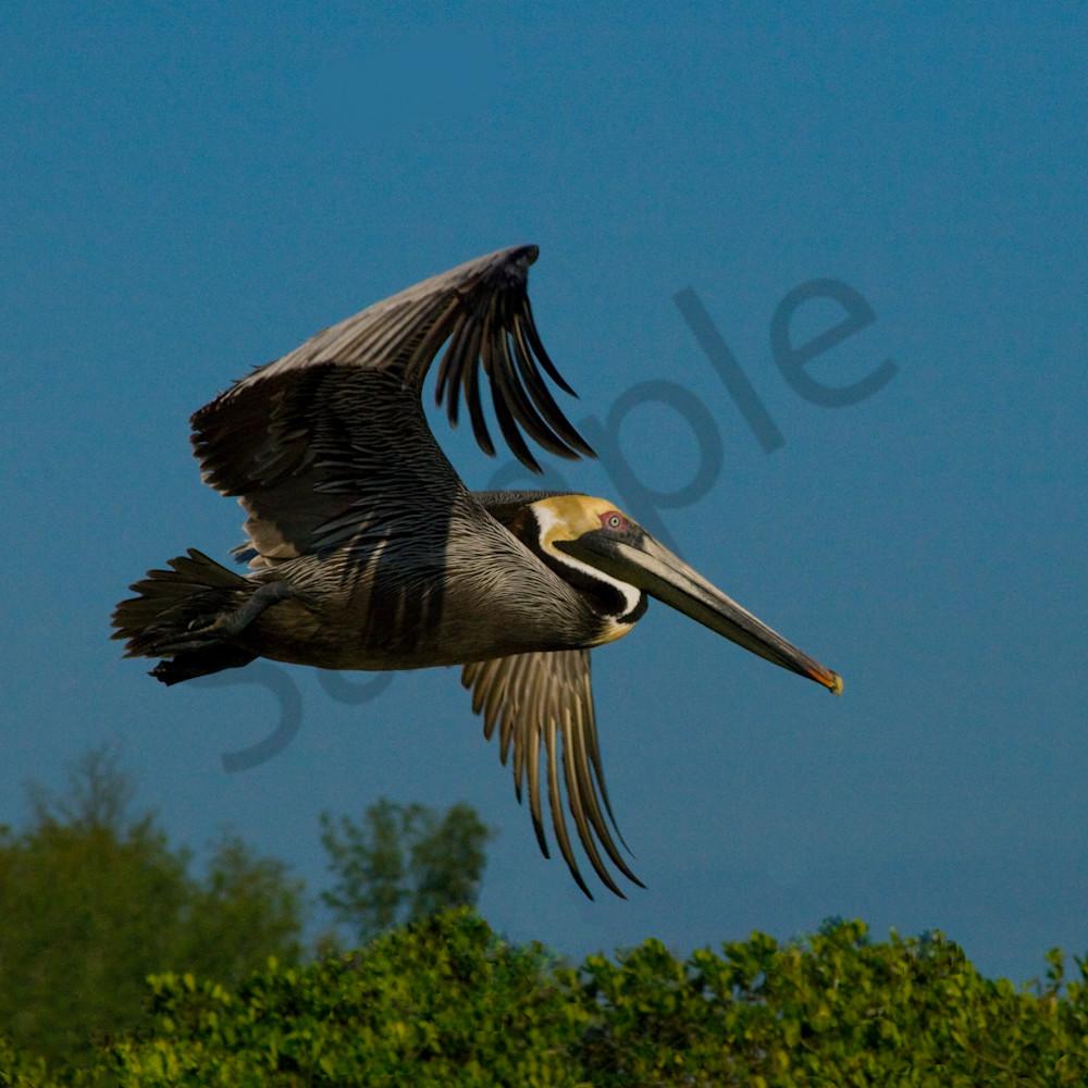 Pelican in flight a9gkwf