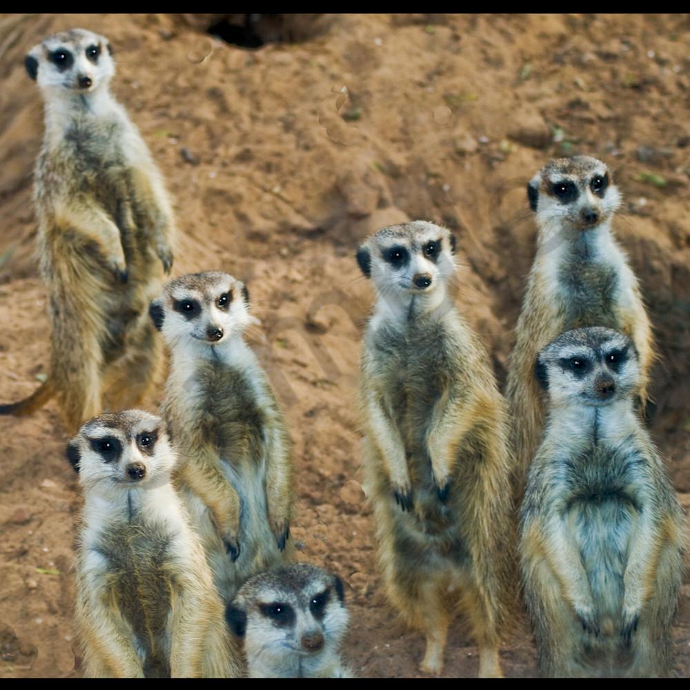 Meercats m5bgaf