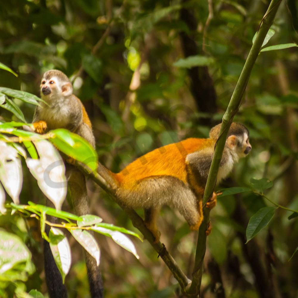 Squirrel monkeys mbpajy