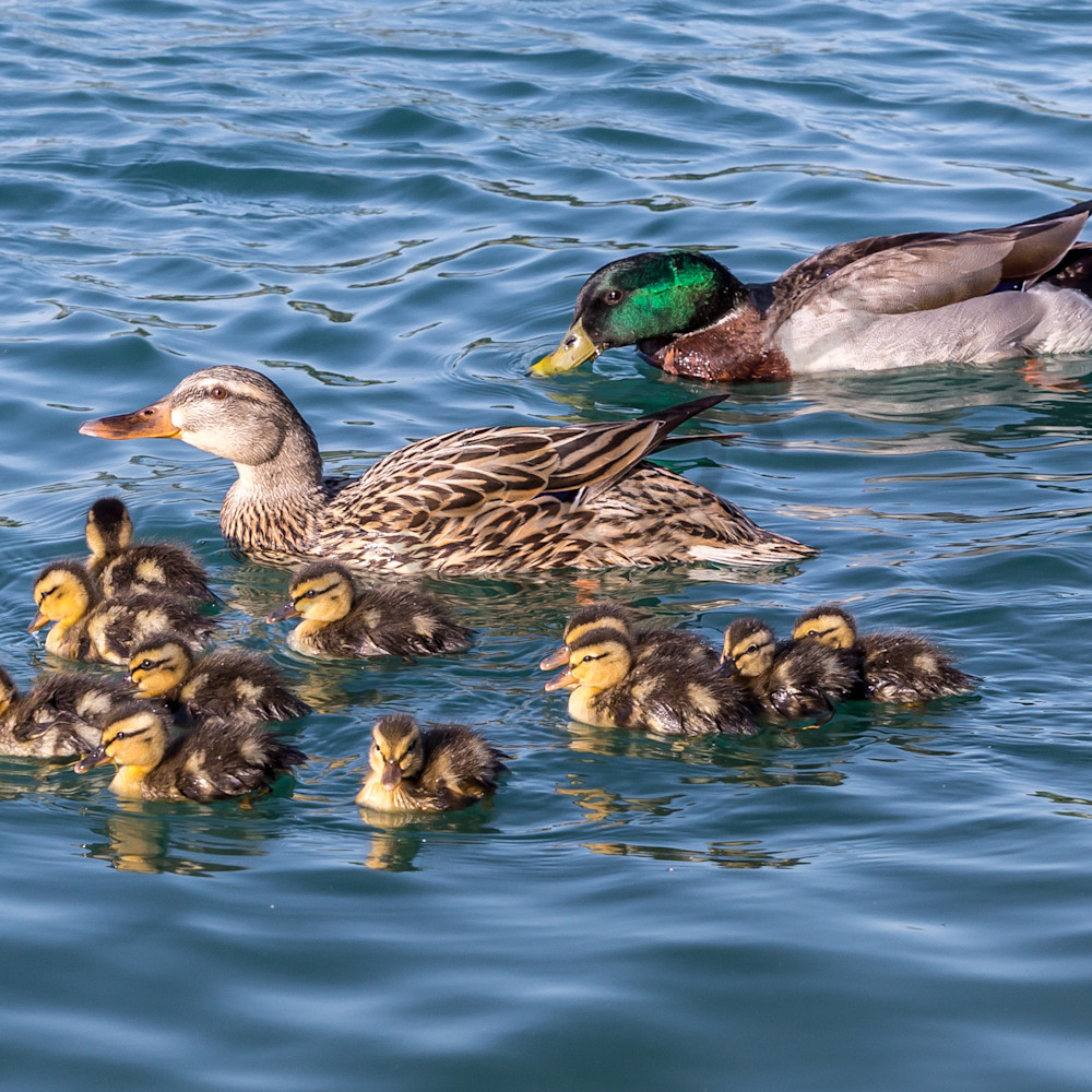 Big duck family at mesa park etrlpl