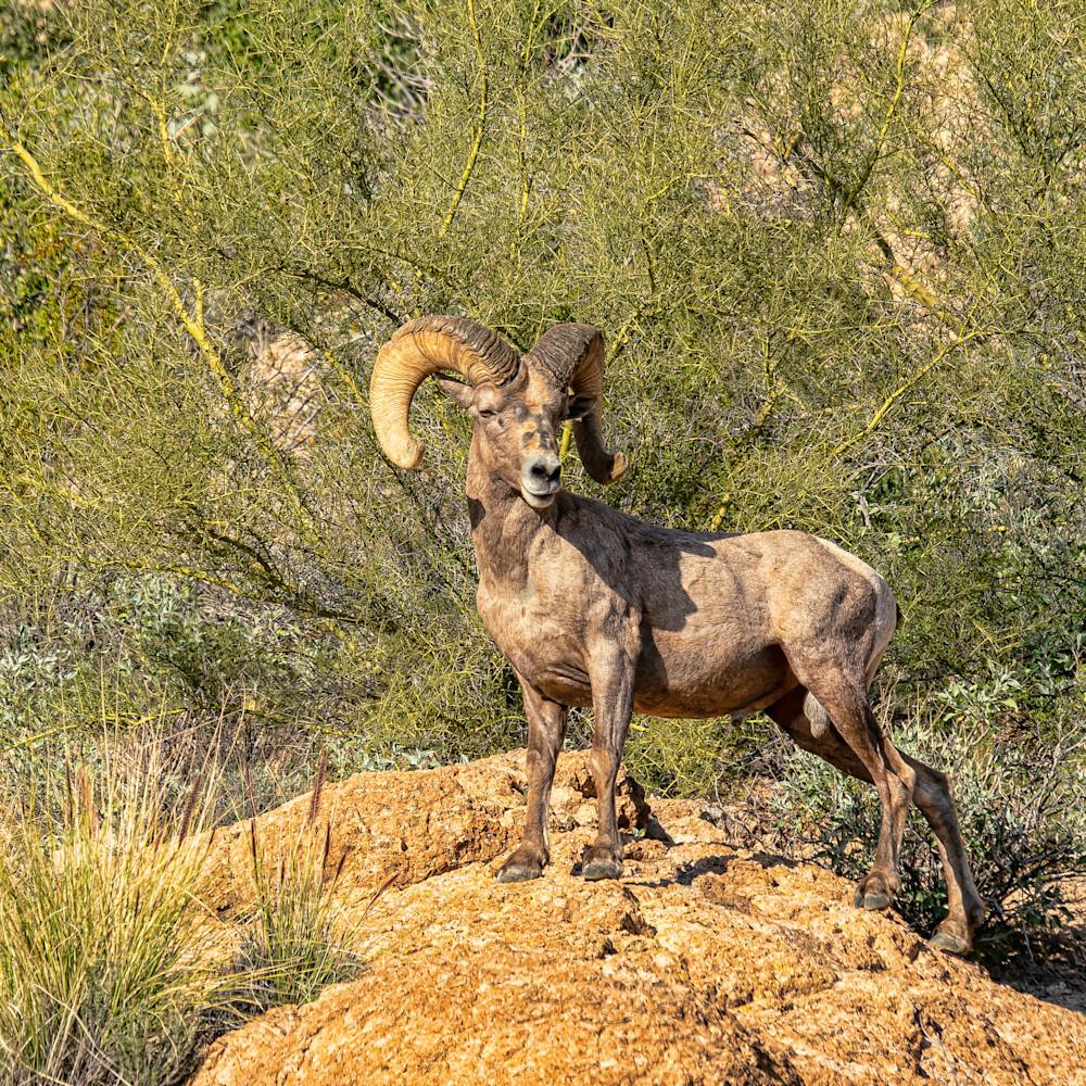 Desert bighorn 02 qh0fjw