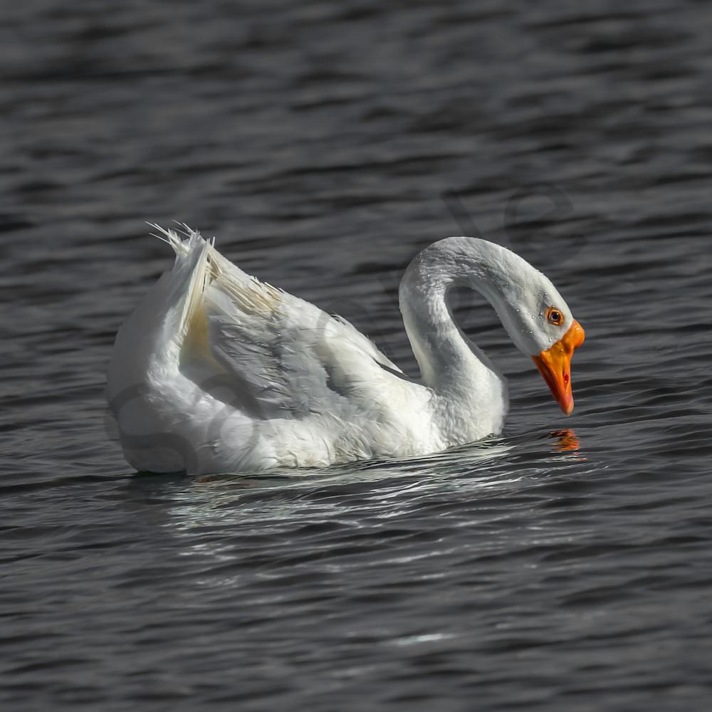 White goose b3sybo