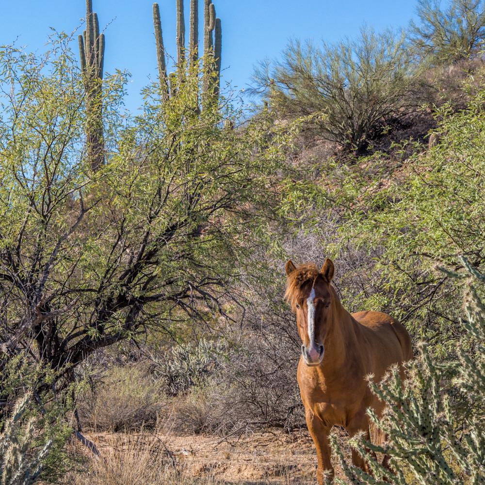 Salt river wild stallion in the desert t3vgxu