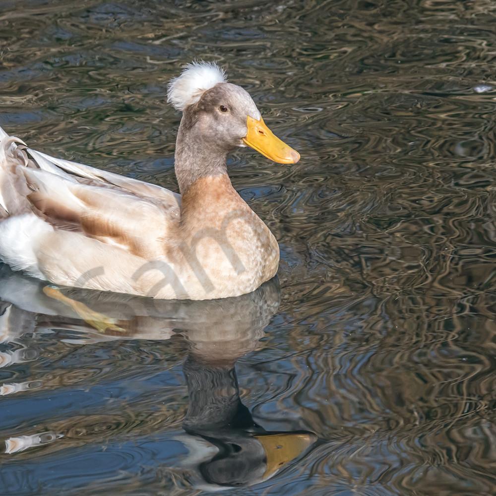 Crested duck e6alpq