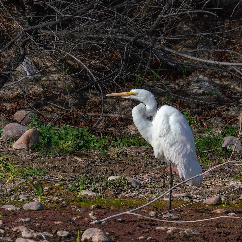 Great white egret 01 nkmpvx