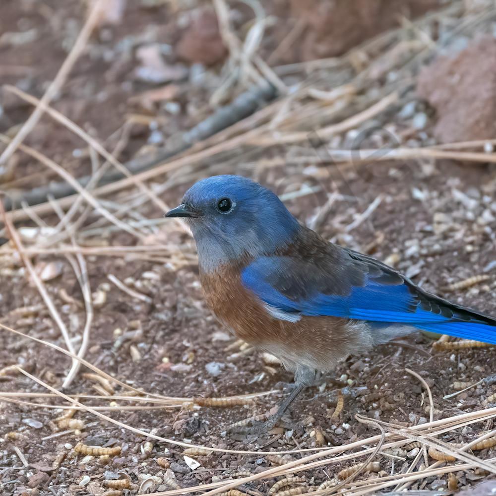 Western bluebird 2 ttogmd