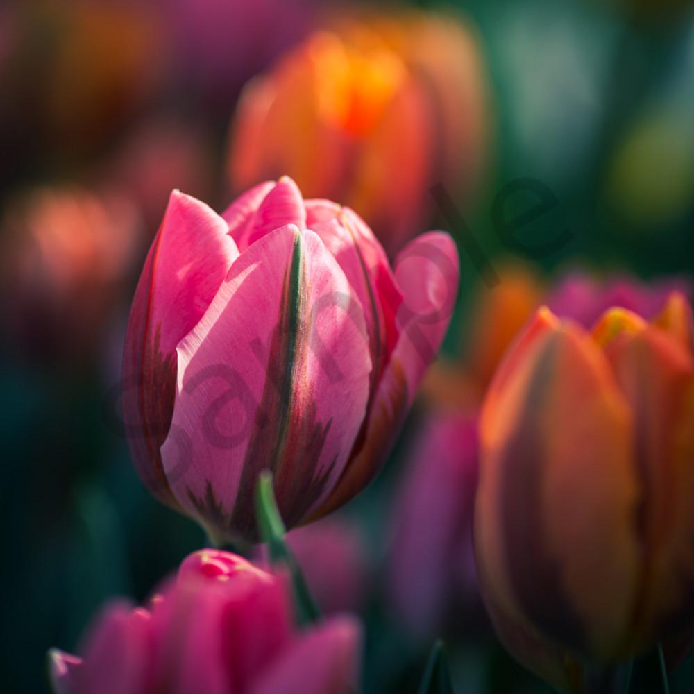 Tulipmagic iuxie6