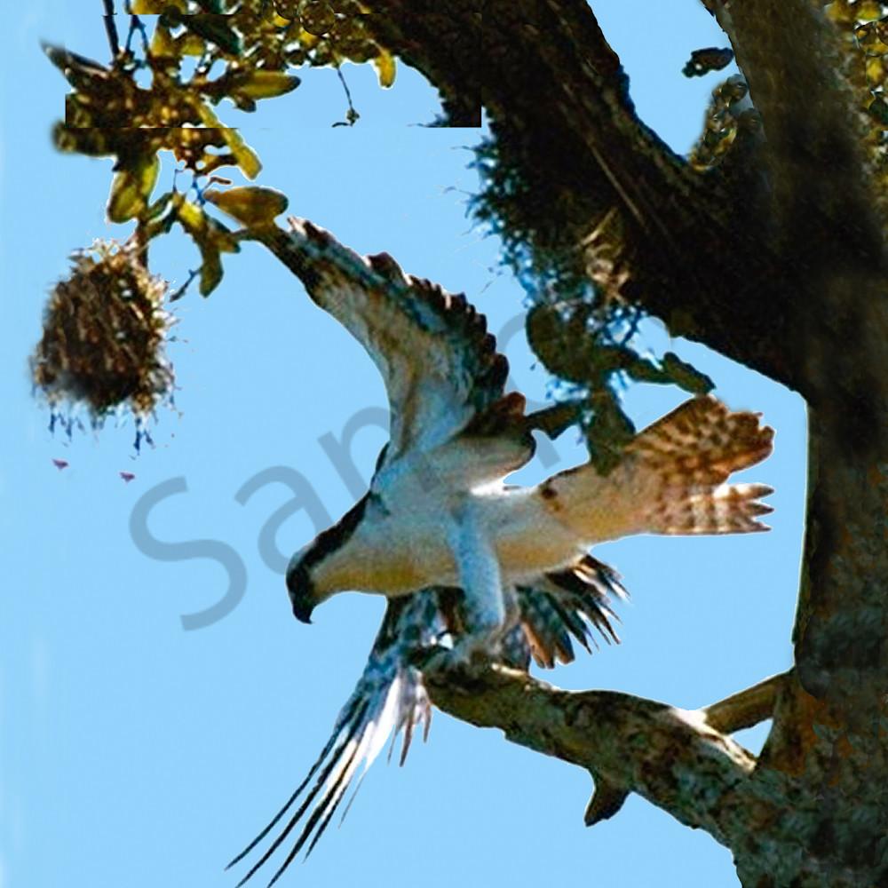 Osprey   wings i5fshx
