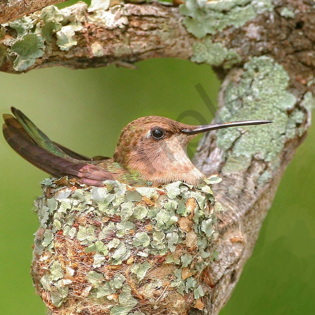 Black chin nesting hnjrwl