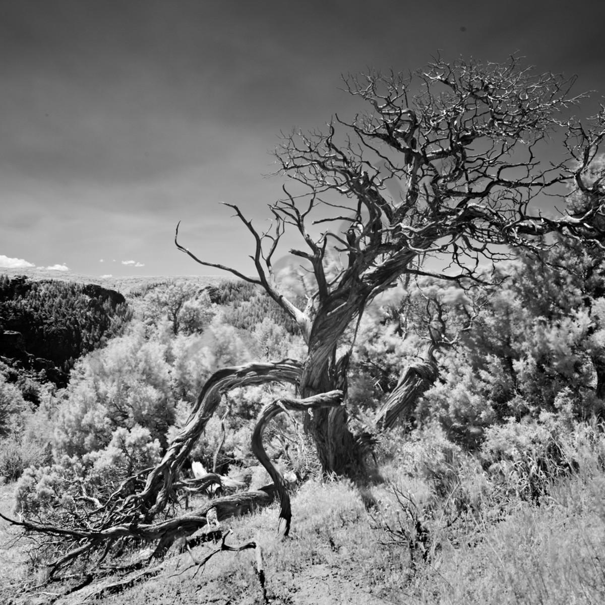 9443 infrared black canyon tree 4x6 web lbttu8