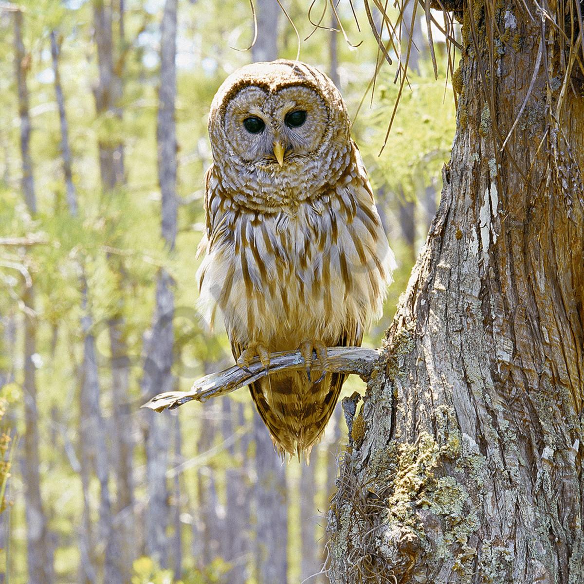 Barred owl wydcxu