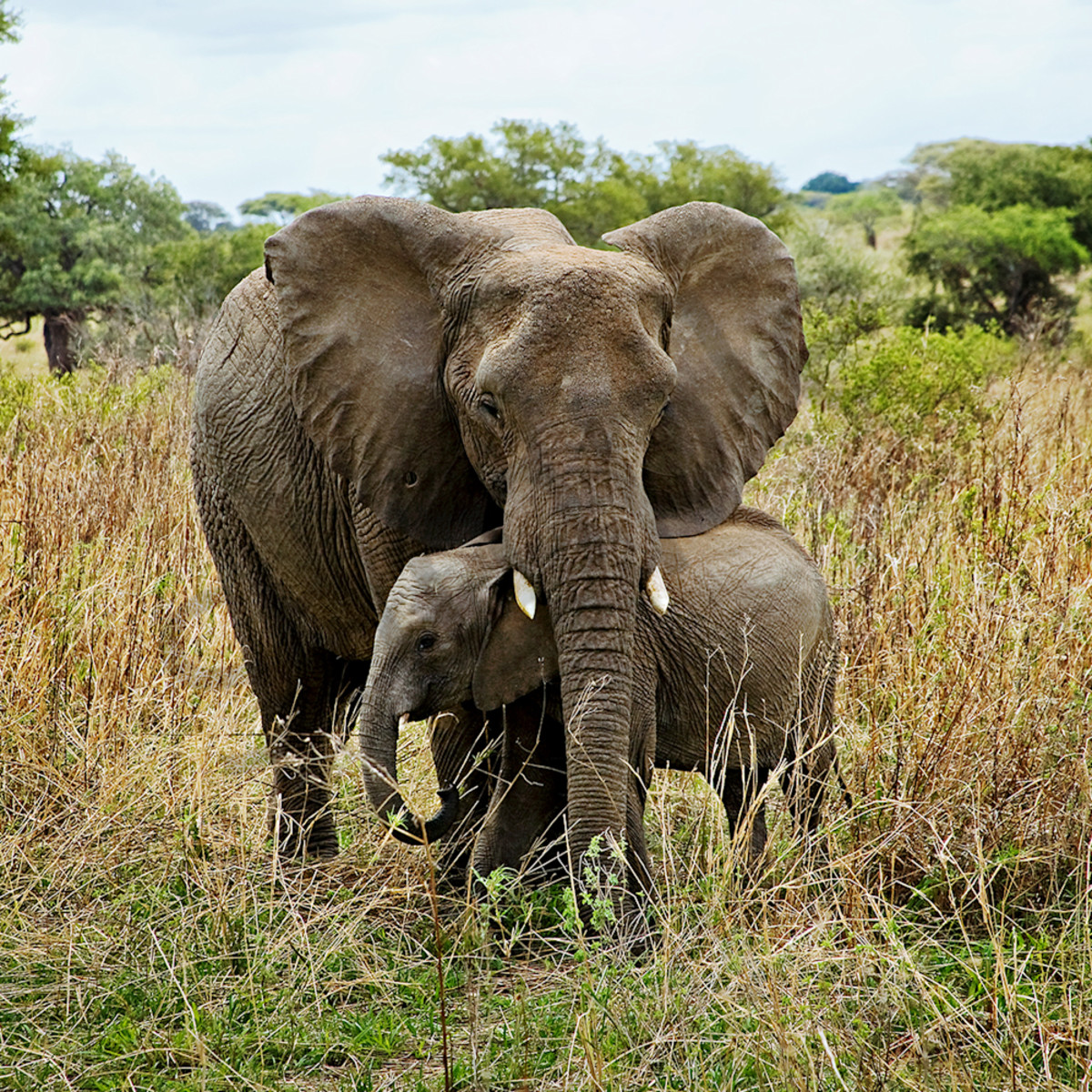 7809 elephants young 6x4 xgrc4g