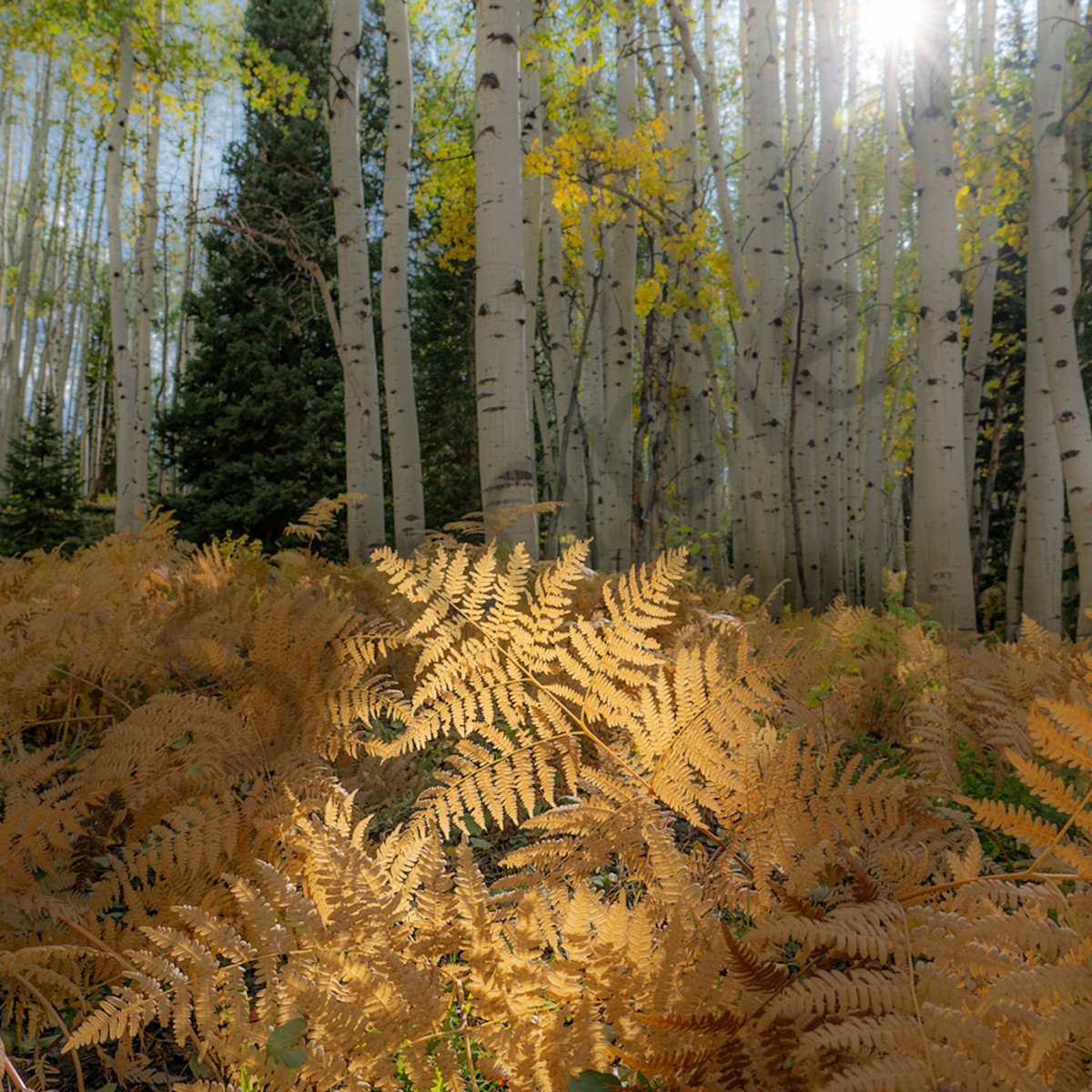 2772 v fall ferns 3 4x6 kvsspo