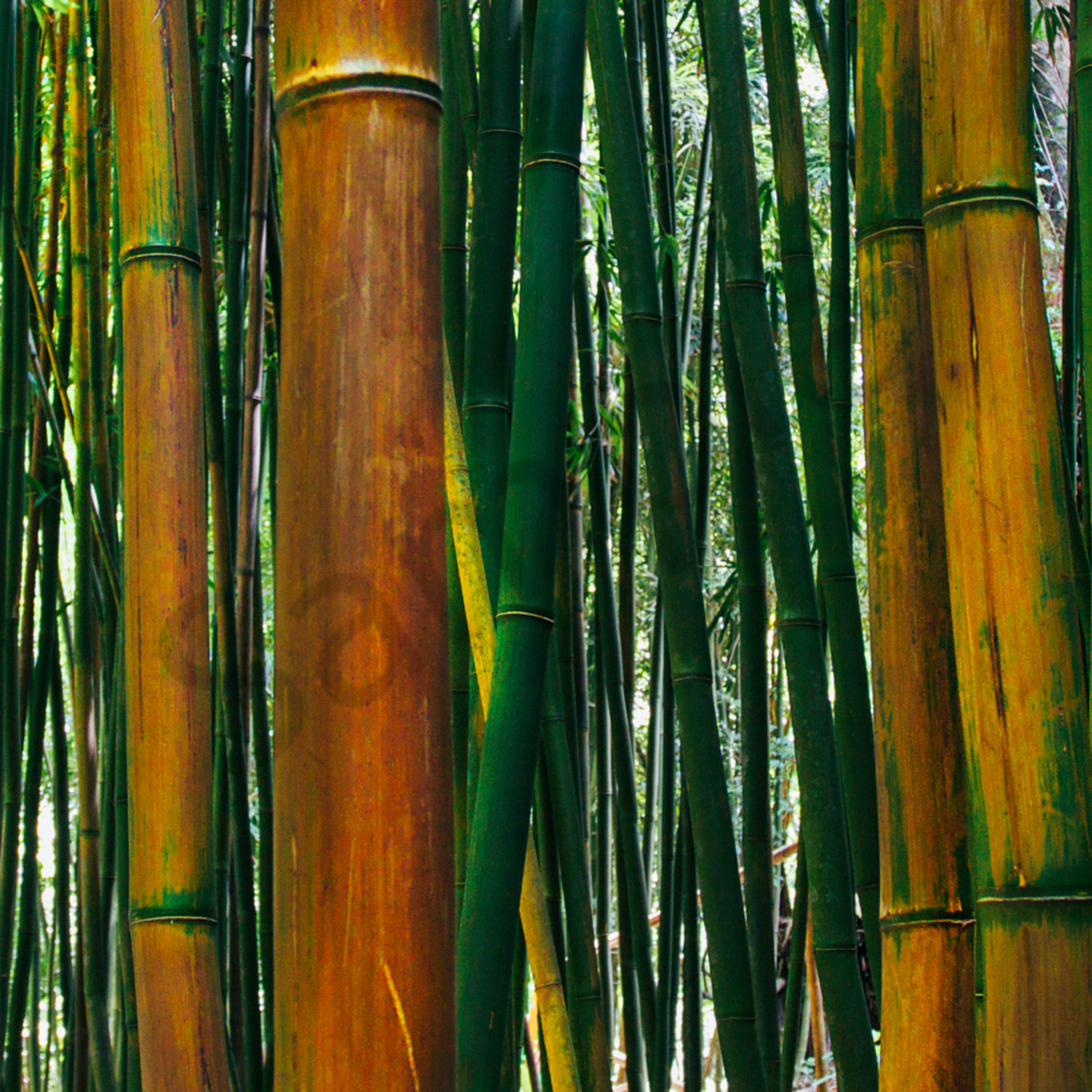 Bamboo orange 1 wdlbrb