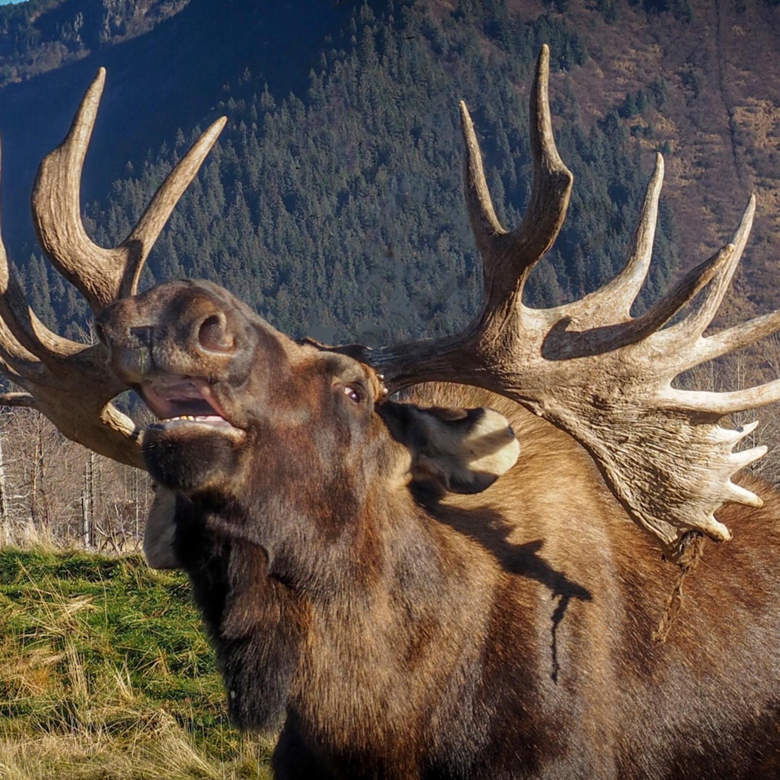 Alaskan bull moose finalsignature dnpuzp