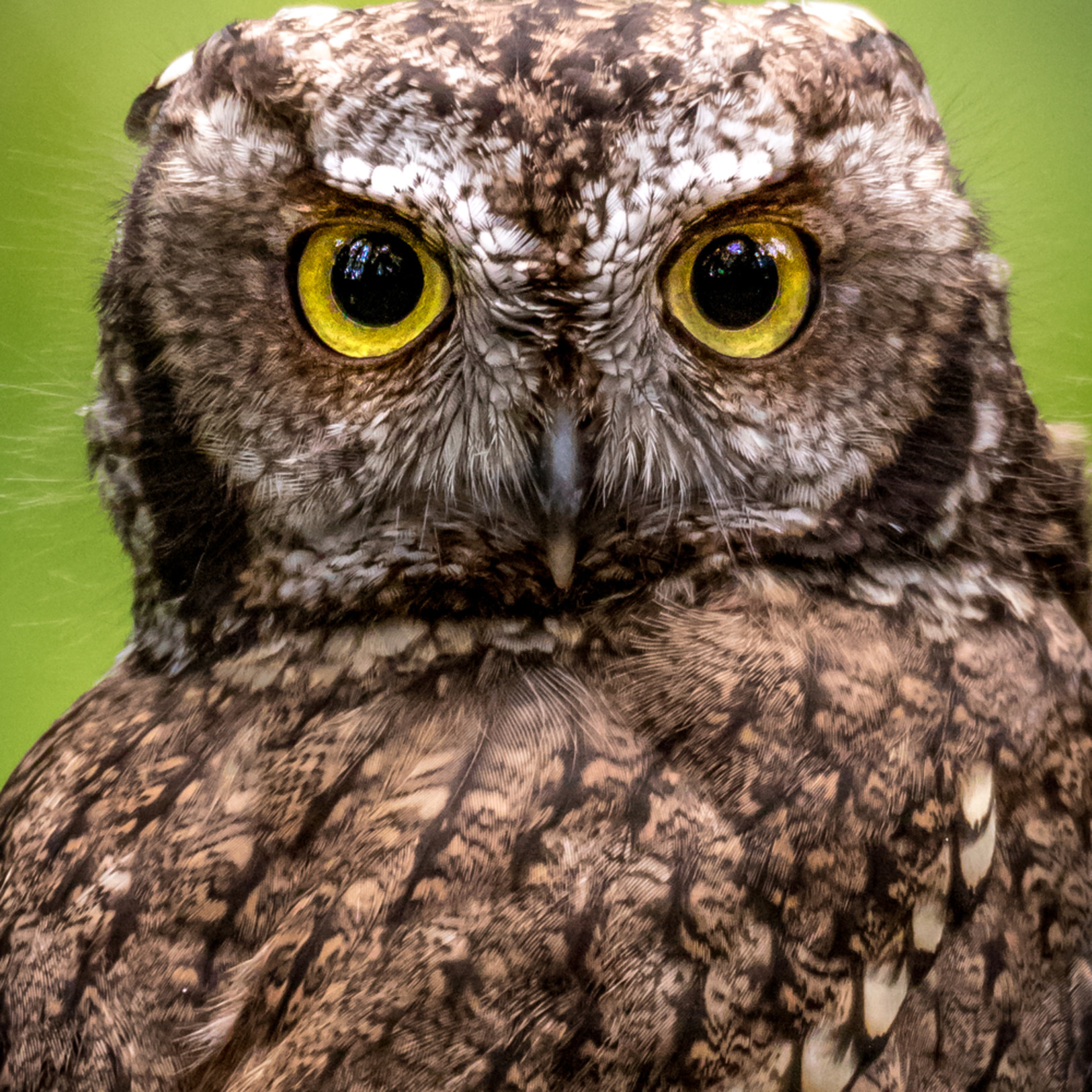 Asf horned owl 1 0006 vxyu45